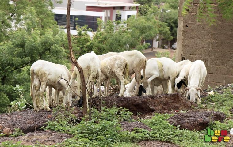 élevage Bamako n'est pas un pâturage