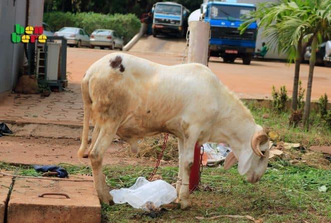 Mouton de Tabaski: pour que le sacrifice rituel ne devienne pas un sacrifice financier