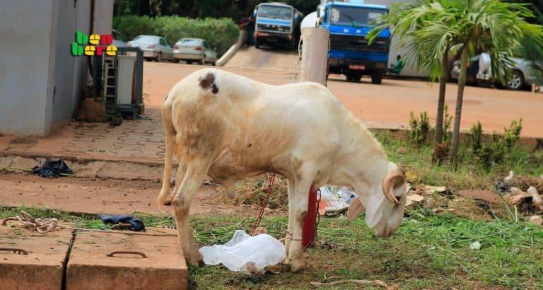 mouton tabaski sacrifice rituel financier Mouton_rue_Bamako_Mali