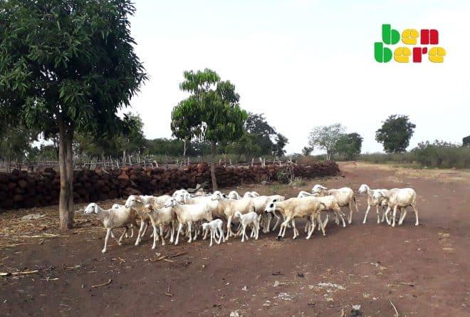 Ségou : à Sanando, les animaux en liberté menacent le vivre-ensemble