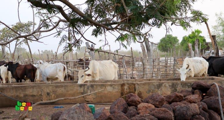 Le Yaaral interdit: sur la piste des bœufs perdus de Diafarabé