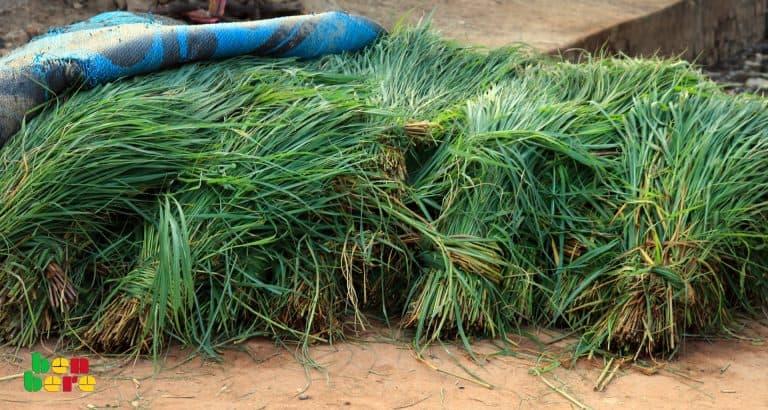 Mali: le business florissant de la vente d'herbe