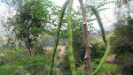 Le moringa, une opportunité inexploitée