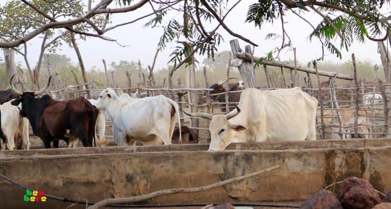 A Bandiagara, Peuls et Dogons sous la loi des voleurs de bétail