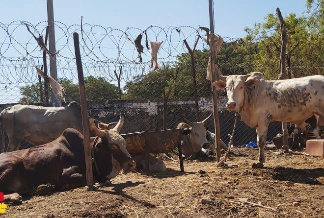 Gao : sous la loi des djihadistes, enlèvements de bétail et prélèvement de la zakat