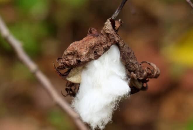 Covid-19 : au Mali, le secteur du coton bat de l'aile