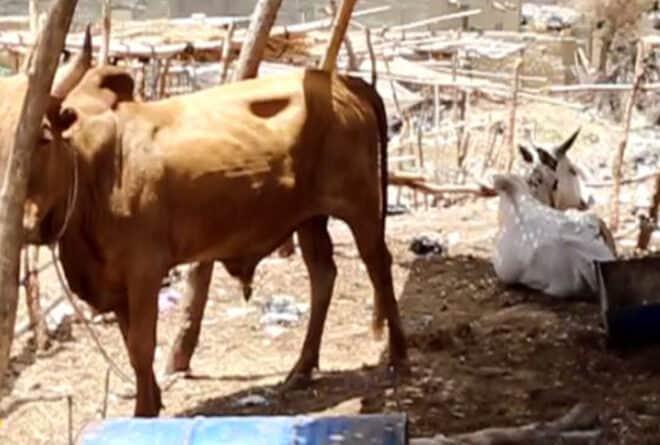Mopti : l'élevage d'embouche, activité en vogue à mieux encadrer