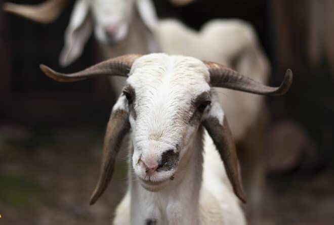 Aïd el Kebir : la sempiternelle poussée des prix du mouton