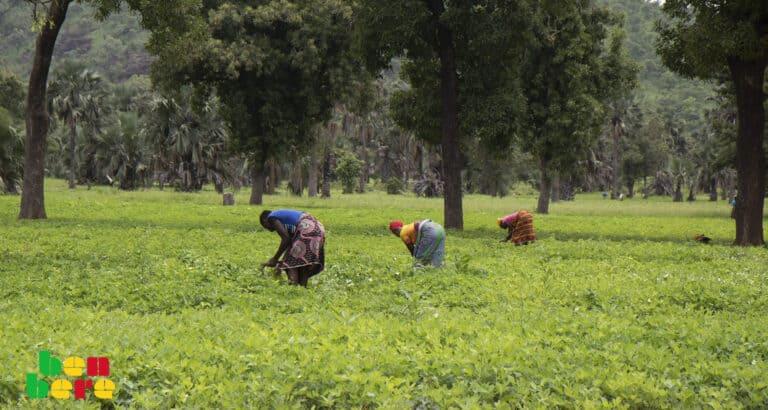 Sikasso : à Yorosso, Karangana sans coton