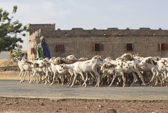 Mali : l'élevage à l'heure du numérique avec le projet STAMP
