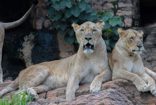 Zoo national : aucun lion ne s'est échappé, selon les responsables